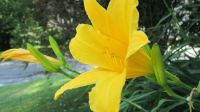 My beautiful lily
