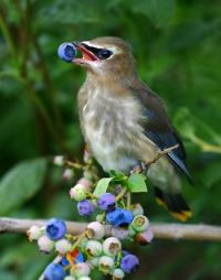 Bird-Eating-Blueberry