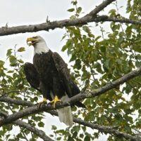 American Bald Eagle - photo taken 9/16/17