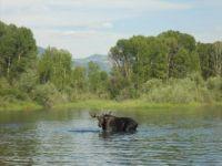 Snake River moose