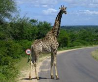 Giraffe with speedlimit
