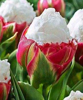 Have you ever seen Ice Cream tulips.