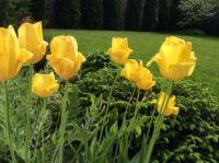 Yellow tulips
