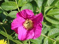 Wild rose - Rosa rugos rubra