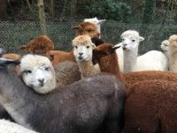 Assembly of Alpacas
