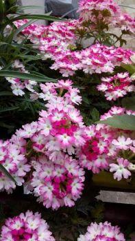 Kvet1
