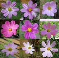 Third Cosmos or Cosmea Collage