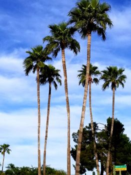palm trees in Tucson
