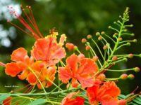 Pride of Barbados plant