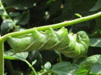 Ewwww - tomato worm