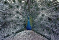Peacock taken at Silver Springs, Florida in 1969