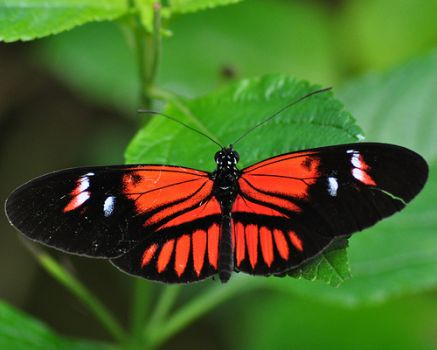 Postman Butterfly - Mexico & Sth America.