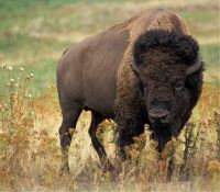 bison-526805