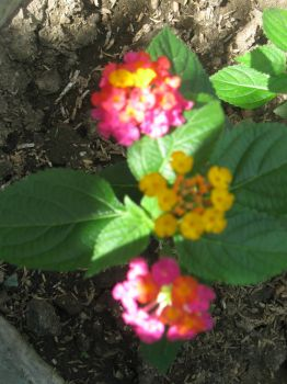 now i know...it's lantana!