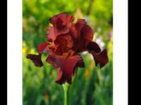 Grateful red bearded iris