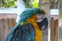 blue macaw in Florida