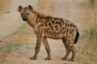 Spotted hyena (Crocuta crocuta) by Chris Mills