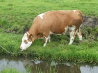 This cow at grass so near the ditch (and the meadow was sloppy and soft!) that I sometimes was afraid this heavy animal would fall in. Didn't happen.