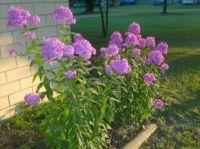 Blooming Phlox