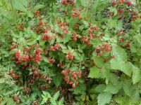 Wild blackberries starting to ripen