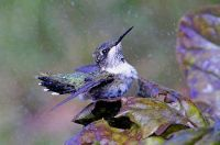 immature ruby throat-hummingbird enjoying a bath in  wet leaves