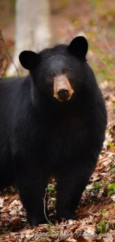 Black Bear, Great Smoky Mountains