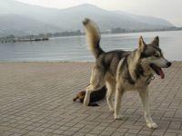 stray dogs husky ?