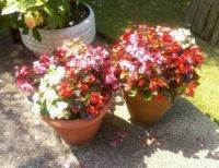 2 pots of beautiful bright begonias
