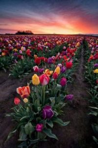 Pole tulipánů