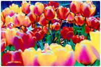CGI Art - Tulips in Bloom