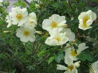 heritage rose