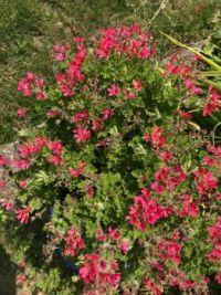 Geranium Cordifolium