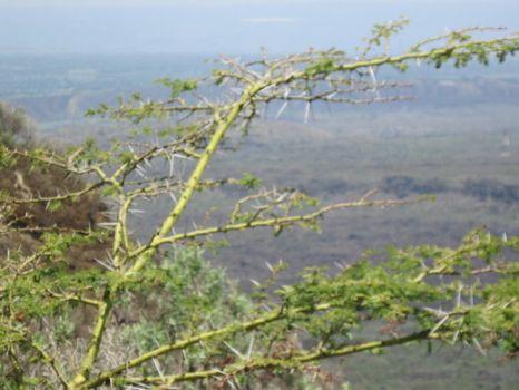 Acacia Tree.....Menengai Crater, Kenya