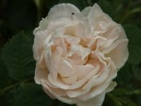 Old variety of very fragrant rose.