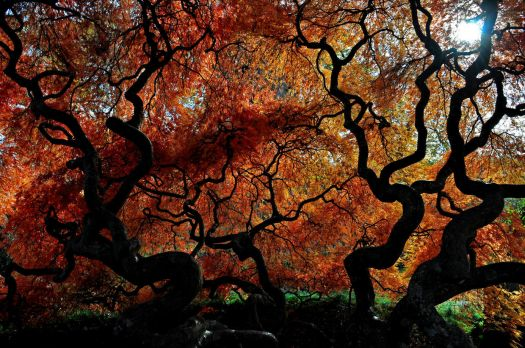 Beneath the Japanese Feather Maple