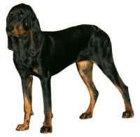 Black_And_Tan_Coonhound