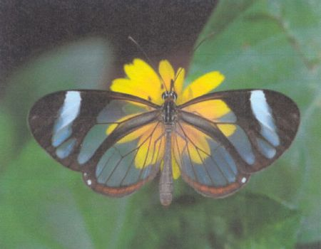 Glass Wing Butterfly 2