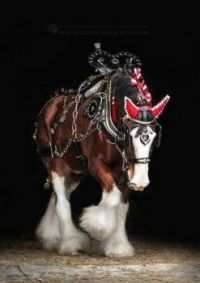 Clydesdale all dressed up