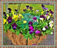 Violas in a hanging basket.
