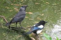 A jackdaw and a magpie having a drink together.