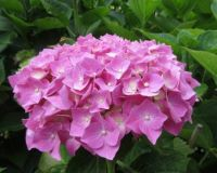 Hydrangea (close up) in my front garden.....(6 days later)