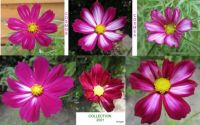 First Cosmos/Cosmea Collage 2021.