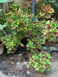 Coleus in Frances' garden