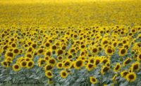 Sunflowers in the Ukraine