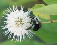 Bee on Buttonbush