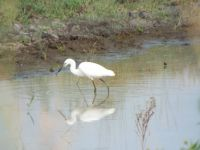 Egret in a pond