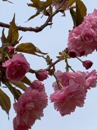 Cherry blossom in Georgia