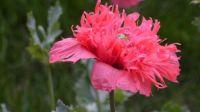 Feathered Poppy