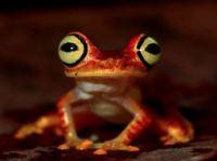 Imbabura treefrog