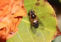 Spring Epistrophe (enkele-bandzweefvlieg)